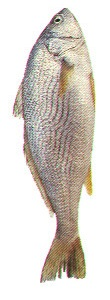 Frozen Croaker Fish X1